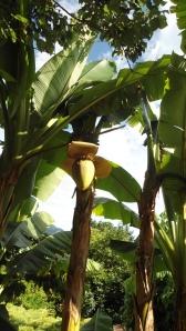 1.4bananenboom in tuin Winzerhof